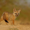 Indian Fox – indian/Bengal fox puppy,Vulpes bengalensis  Canidae.  ( LRK )