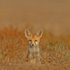 "Beauty of Grassland "" Desert fox  PUP"