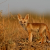 Desert fox pup   LRK ( Evening with Fox PUP )