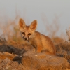 Desert fox pup  ( Evening with Fox PUP ) LRK