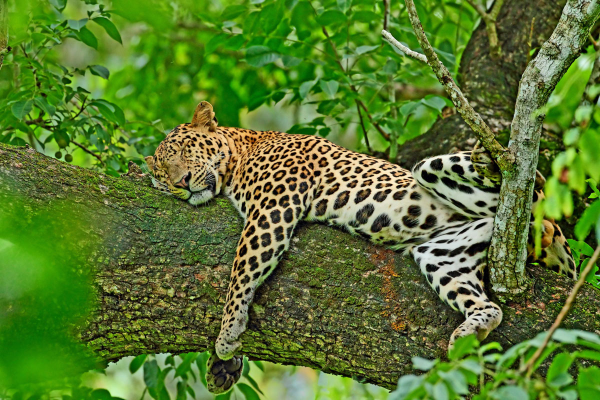 an introduction to the panthera pardus • introduction of an agent-based competition model programmed in netlogo • competition by humans had only a slight impact on the population of the leopard abstract: on the island of sumatra, the leopard (panthera pardus) became extinct during the late pleistocene.